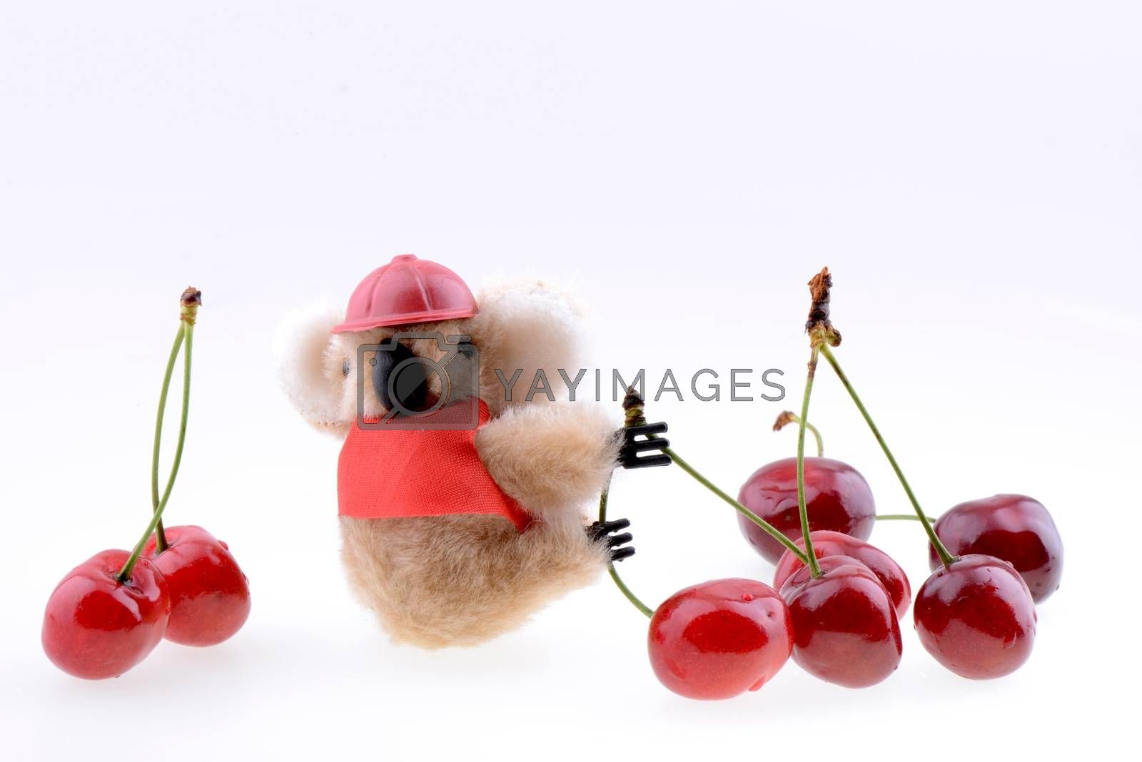 Toy koala collecting Sweet cherries isolated on a white background