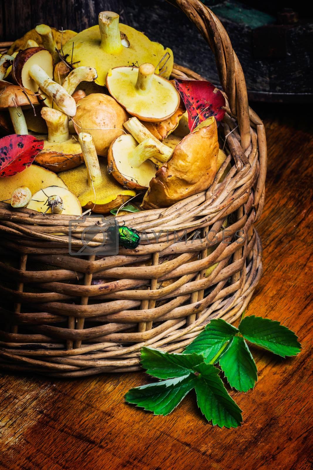 Still life of yellow boletus mushrooms in a basket