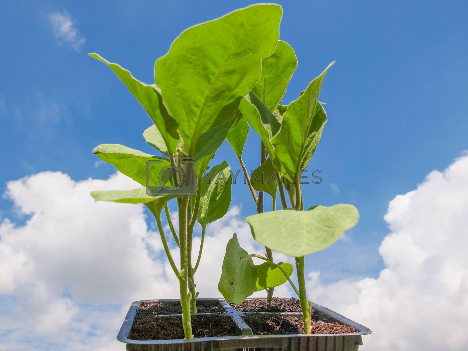 Royalty free image of Plug aubergine plant by claudiodivizia
