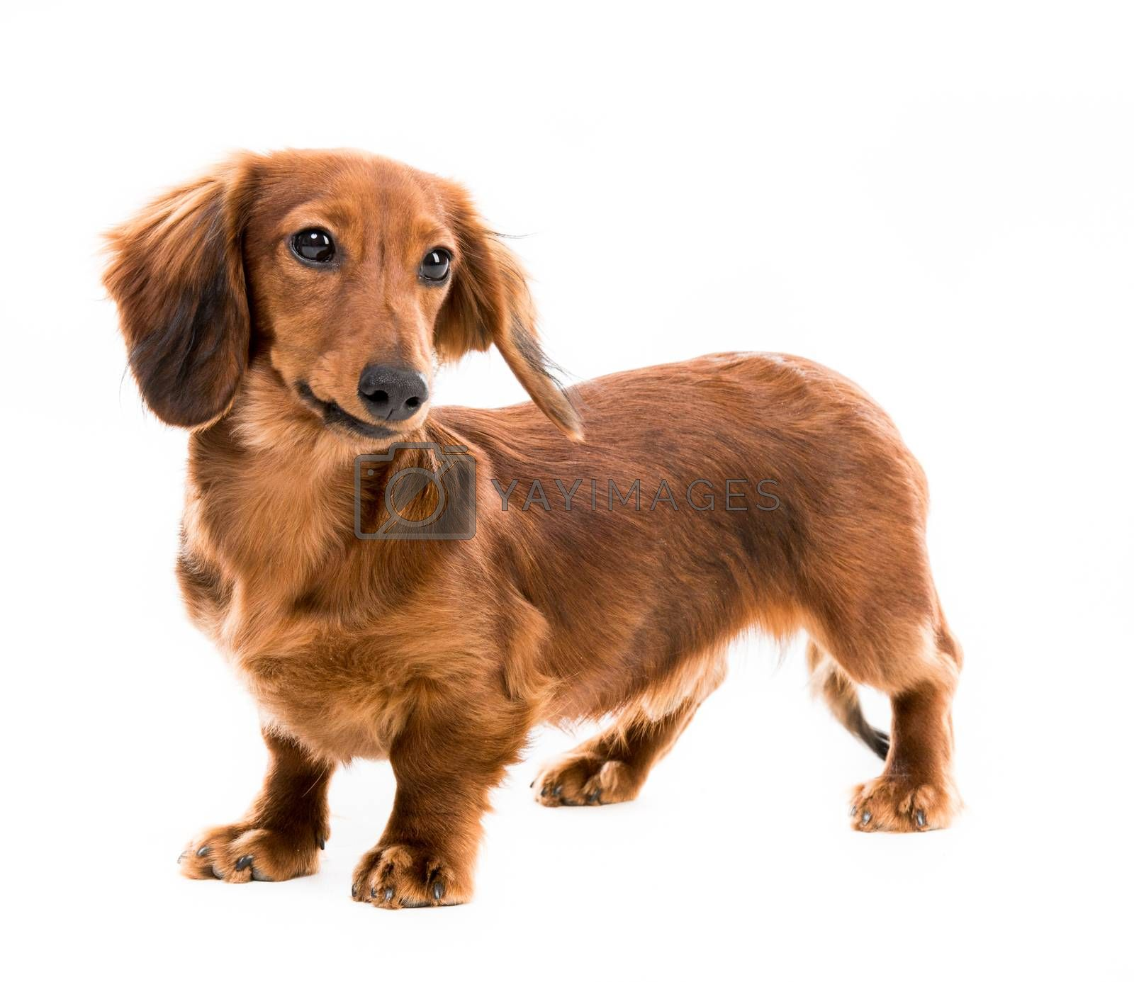 Royalty free image of red dog breed dachshund by GekaSkr