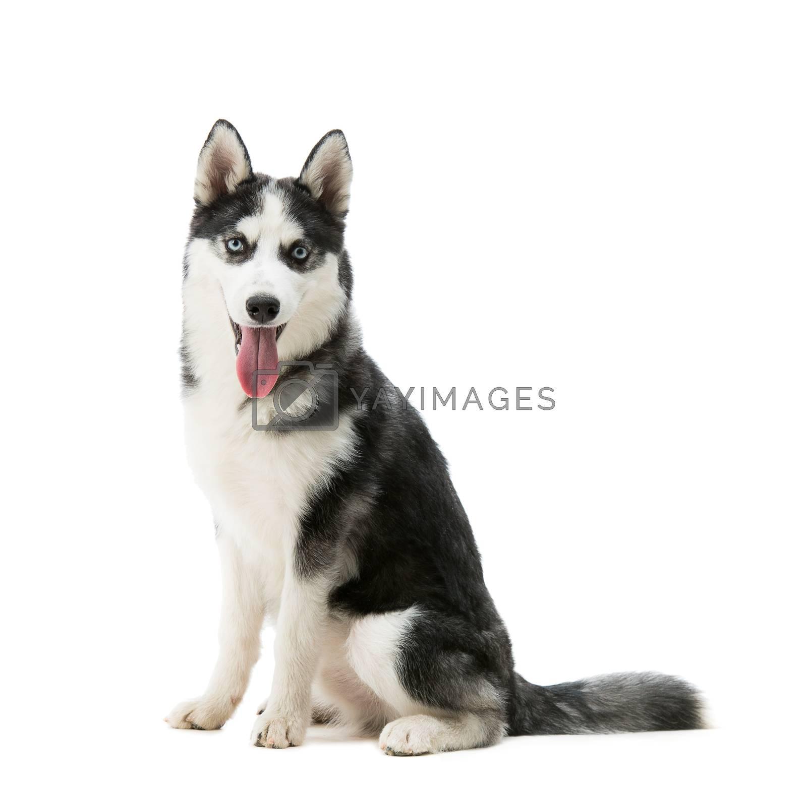 Royalty free image of Husky dog breed by GekaSkr