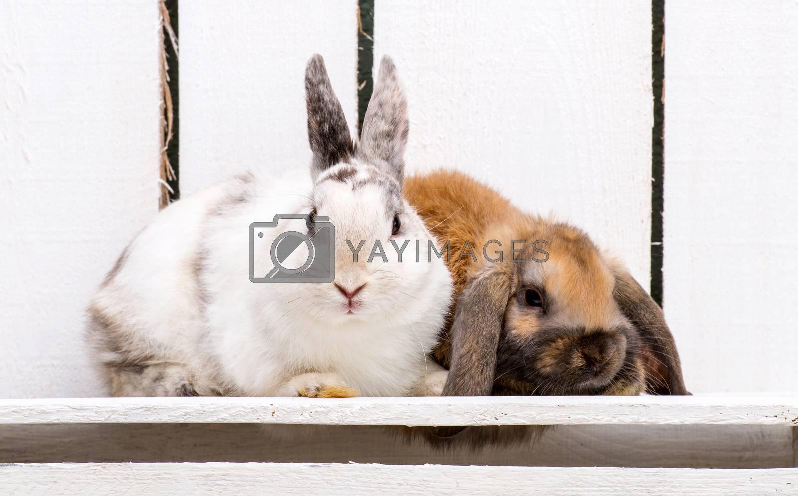 Royalty free image of Easter bunnies by GekaSkr