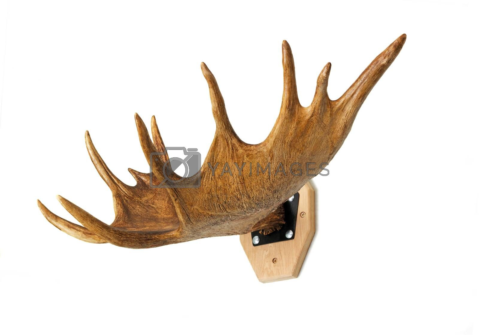 Royalty free image of Trophy hunter - elk horn, presented on a white background. by georgina198