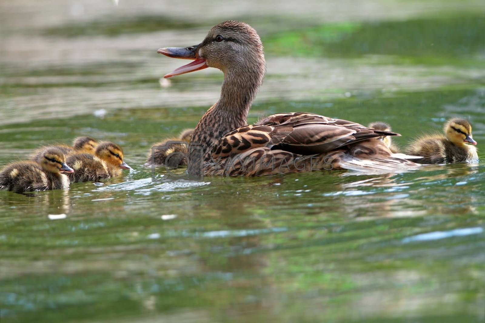 female mallard duck quacking ( anas platyrhtnchos ) with small cute ducklings on lake surface