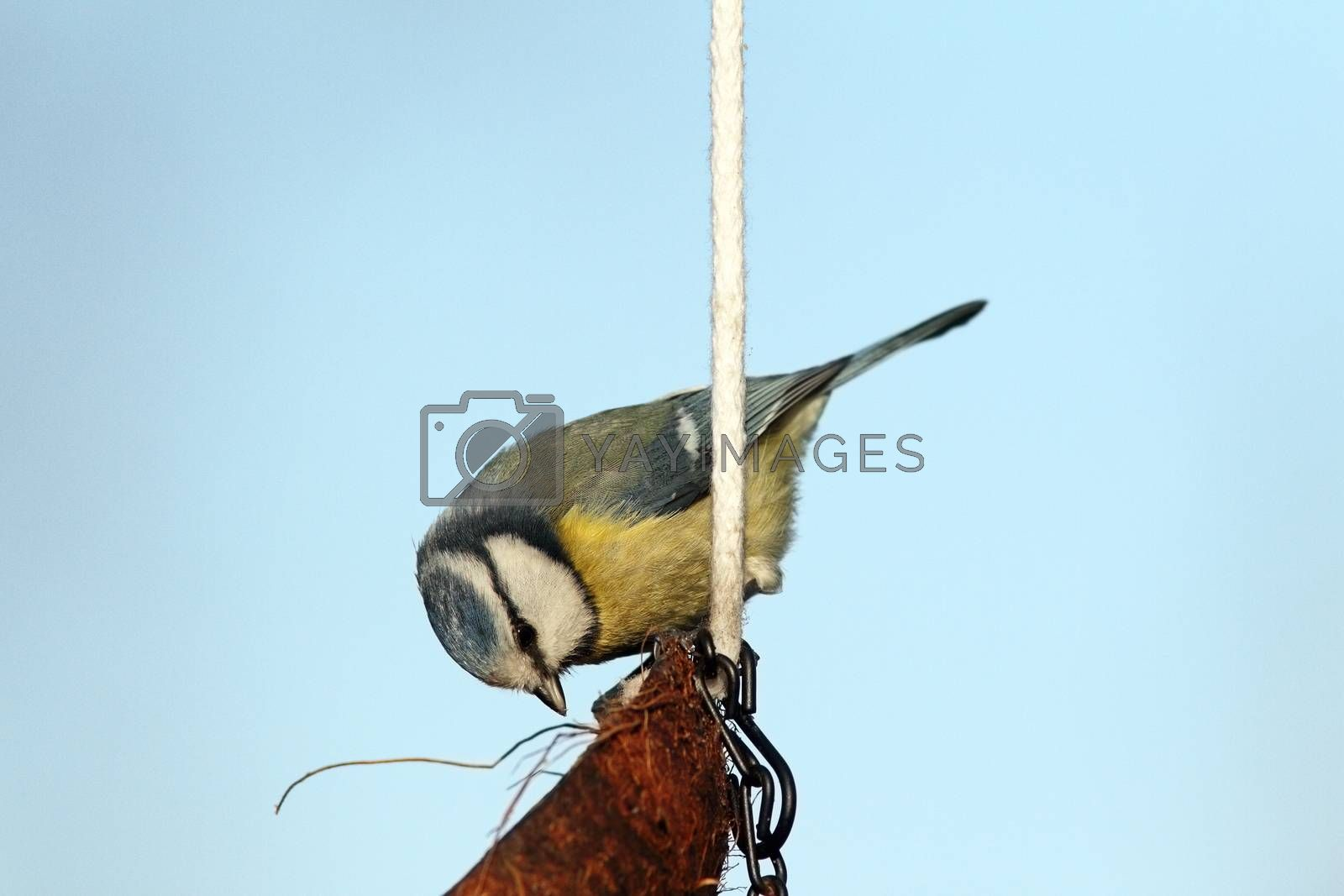 Royalty free image of hungry blue tit on lard feeder by taviphoto