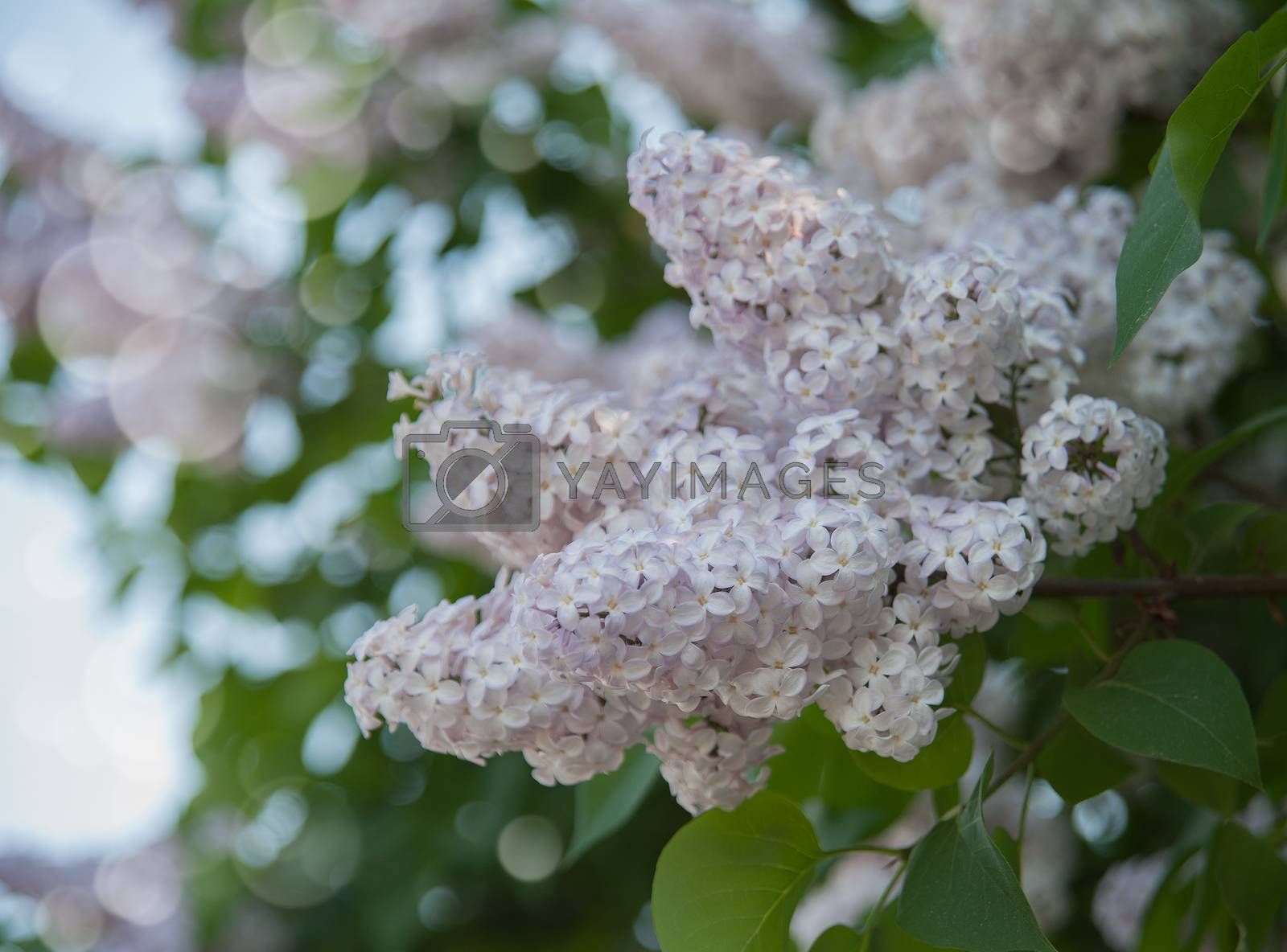 Royalty free image of branch of lilac by raduga21