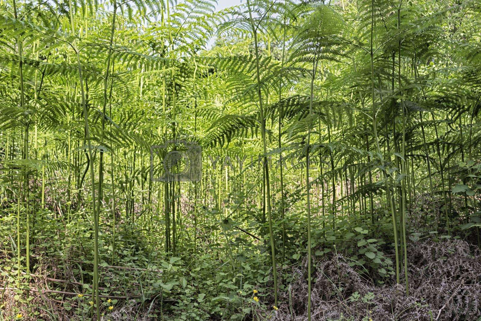 Ferns  in the Pialassa della Baiona brackish lagoon near Marina Romea along the  Adriatic seaside in Ravenna (Italy)
