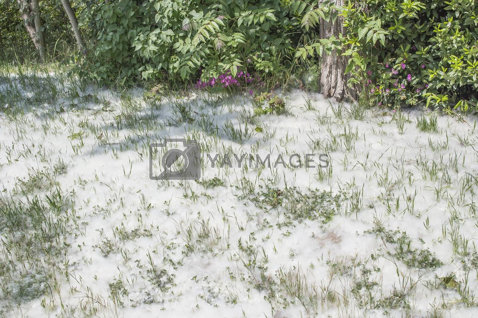 Poplar white snowlike hairs in the Pinewood forest on the Pialassa della Baiona brackish lagoon near Marina Romea along te  Adriatic seaside in Ravenna (Italy)