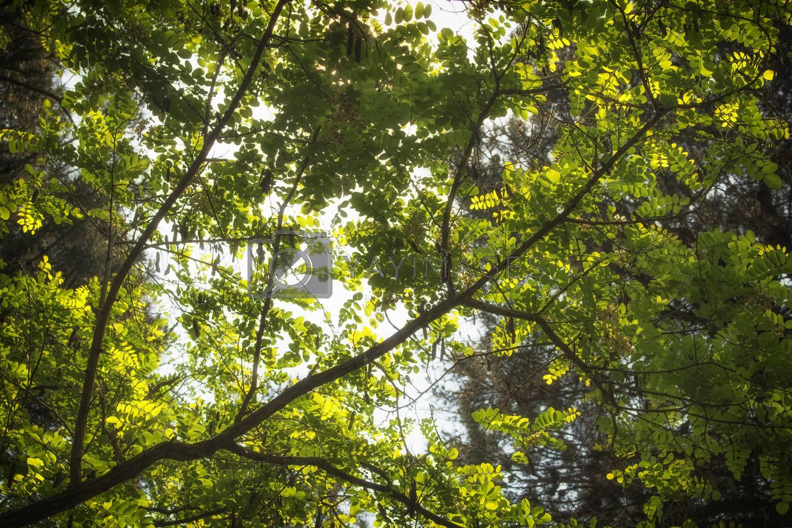 Green leaves, sun and sky in the pinewood forest along the Pialassa della Baiona brackish lagoon near Marina Romea on the  Adriatic seaside in Ravenna (Italy)