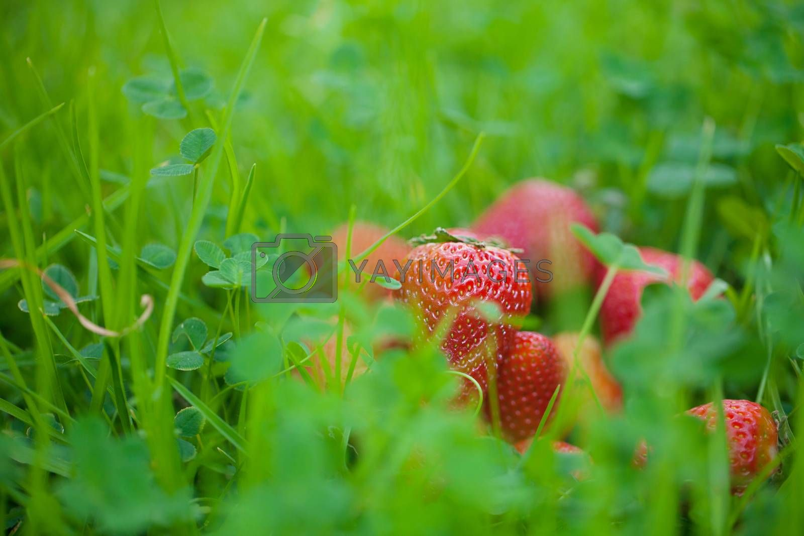 strawberries lying on green grass