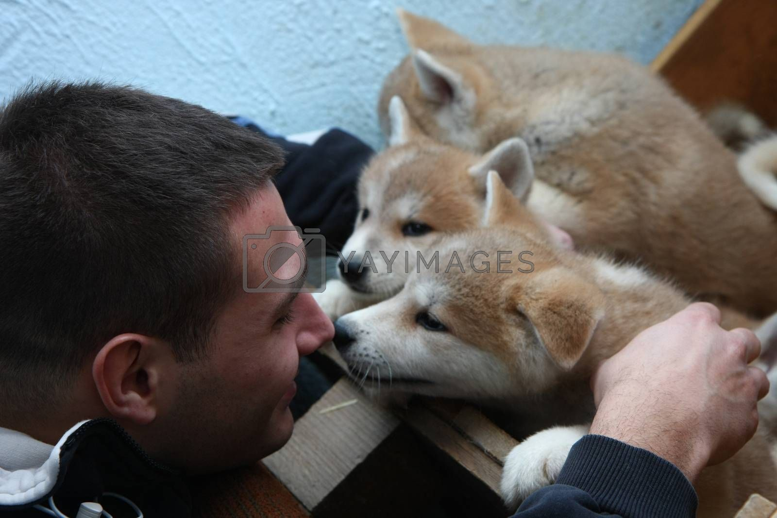 Two month old puppies of Japanese dog Akita Inu entertain with young man,Belgrade,Serbia