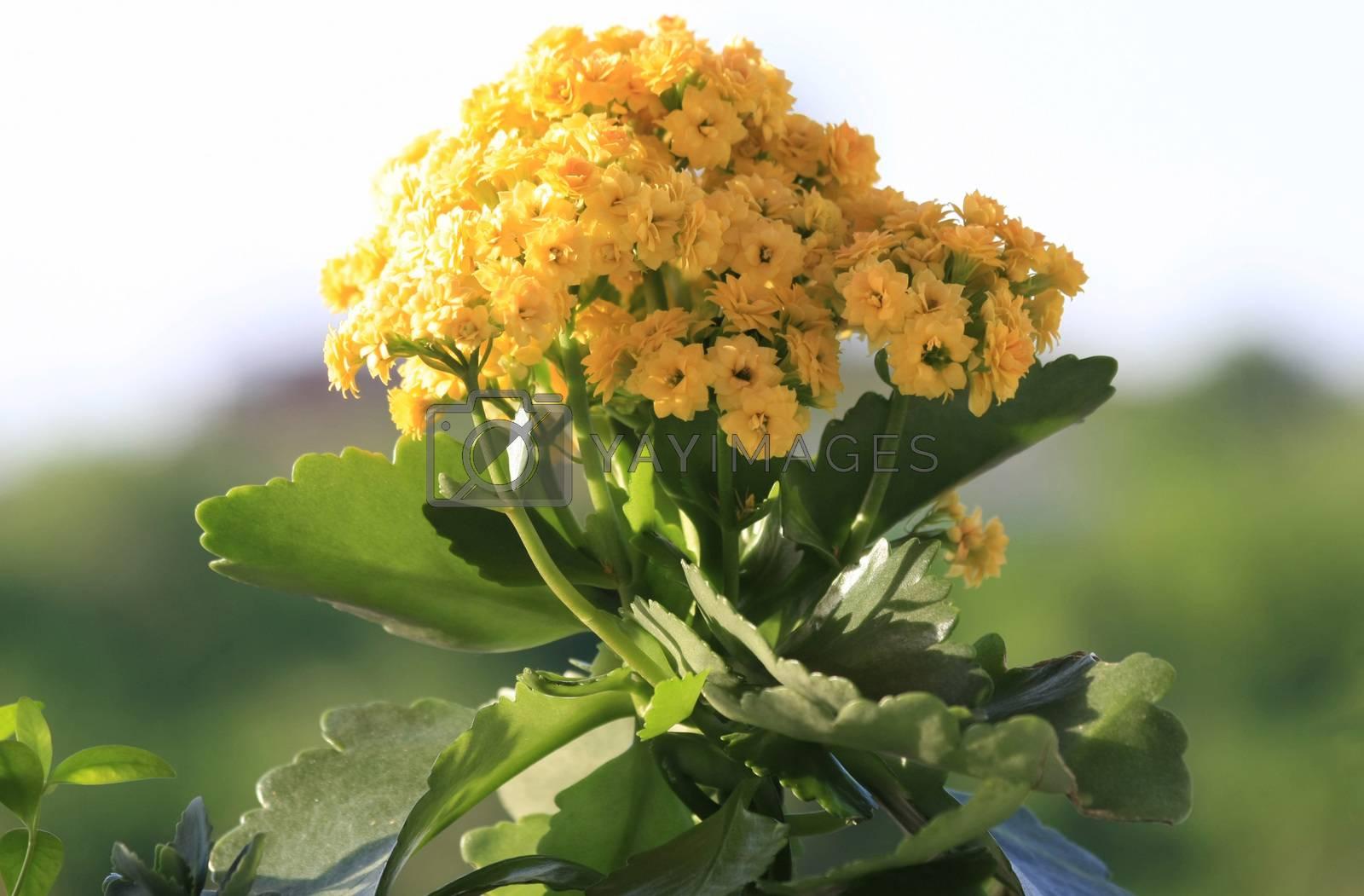 Yellow Kalanchoe in public garden