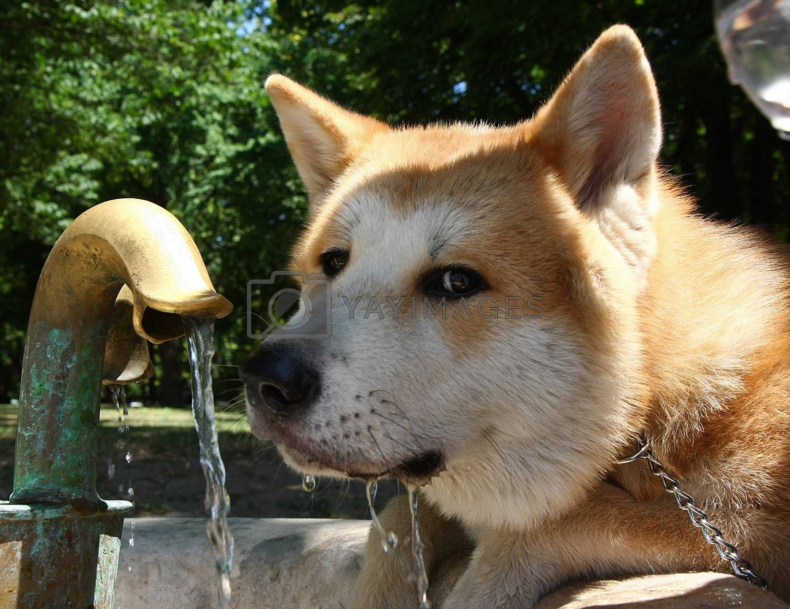 Japanese dog Akita inu at Belgrade fortress Kalemegdan,Serbia