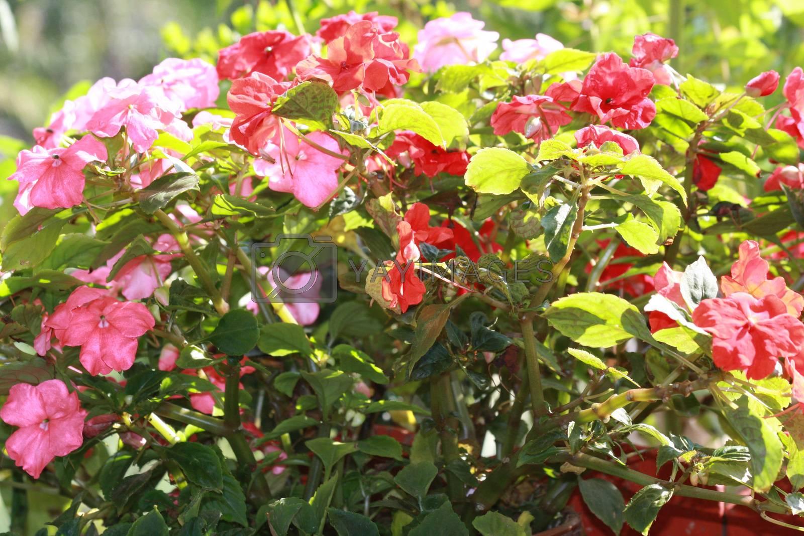 Close up of bush of Bizzie Lizzie