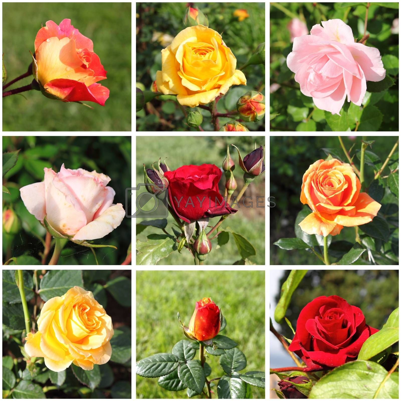 Collage of beautiful roses by alessandro0770