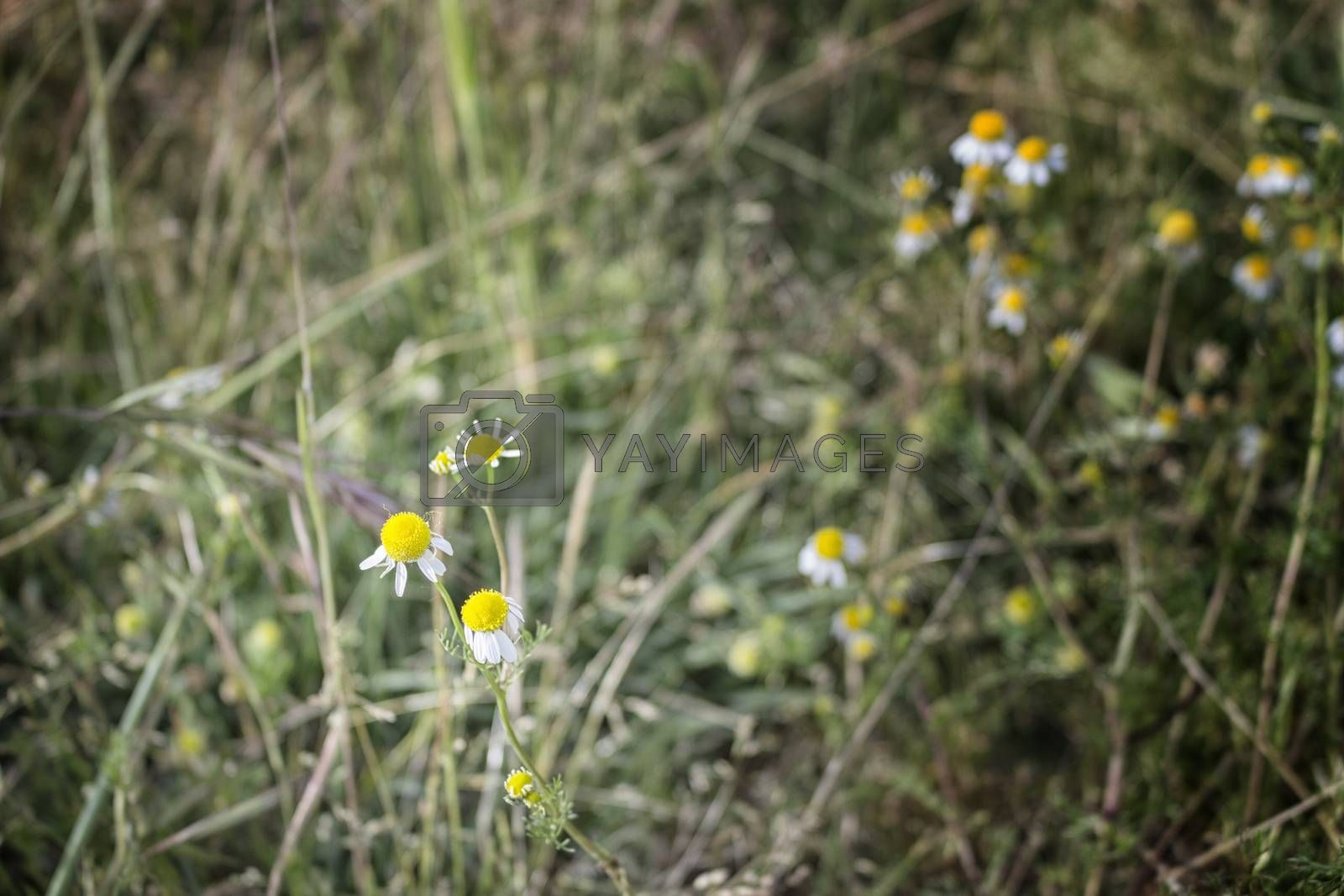 Chamomile flowers on weeds background by paocasa