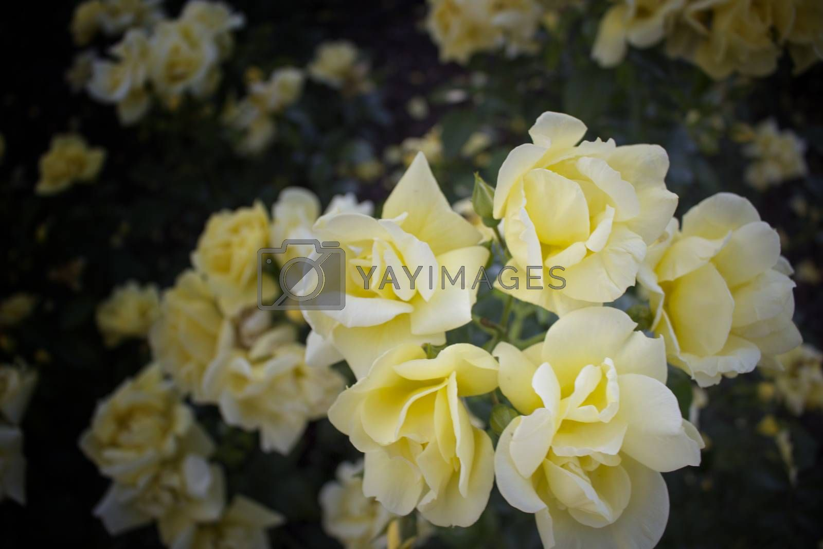 Yellow roses in Italian garden by paocasa