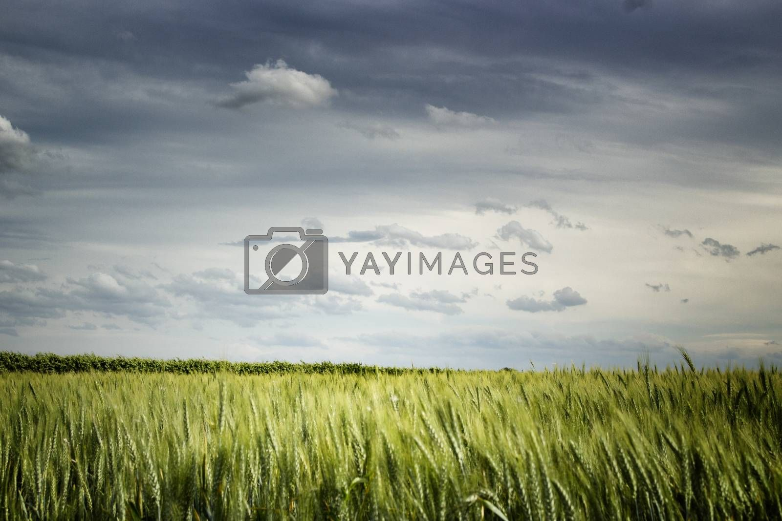 Wheat fields in Italian countryside by paocasa
