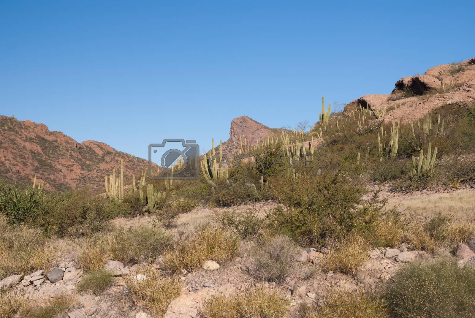 Desert Organpipe cactus by emattil