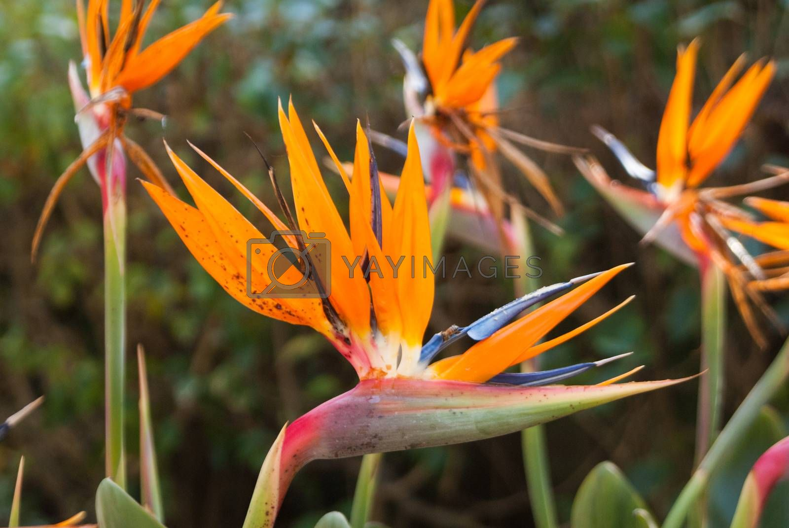 Bird of Paradise blooms by emattil