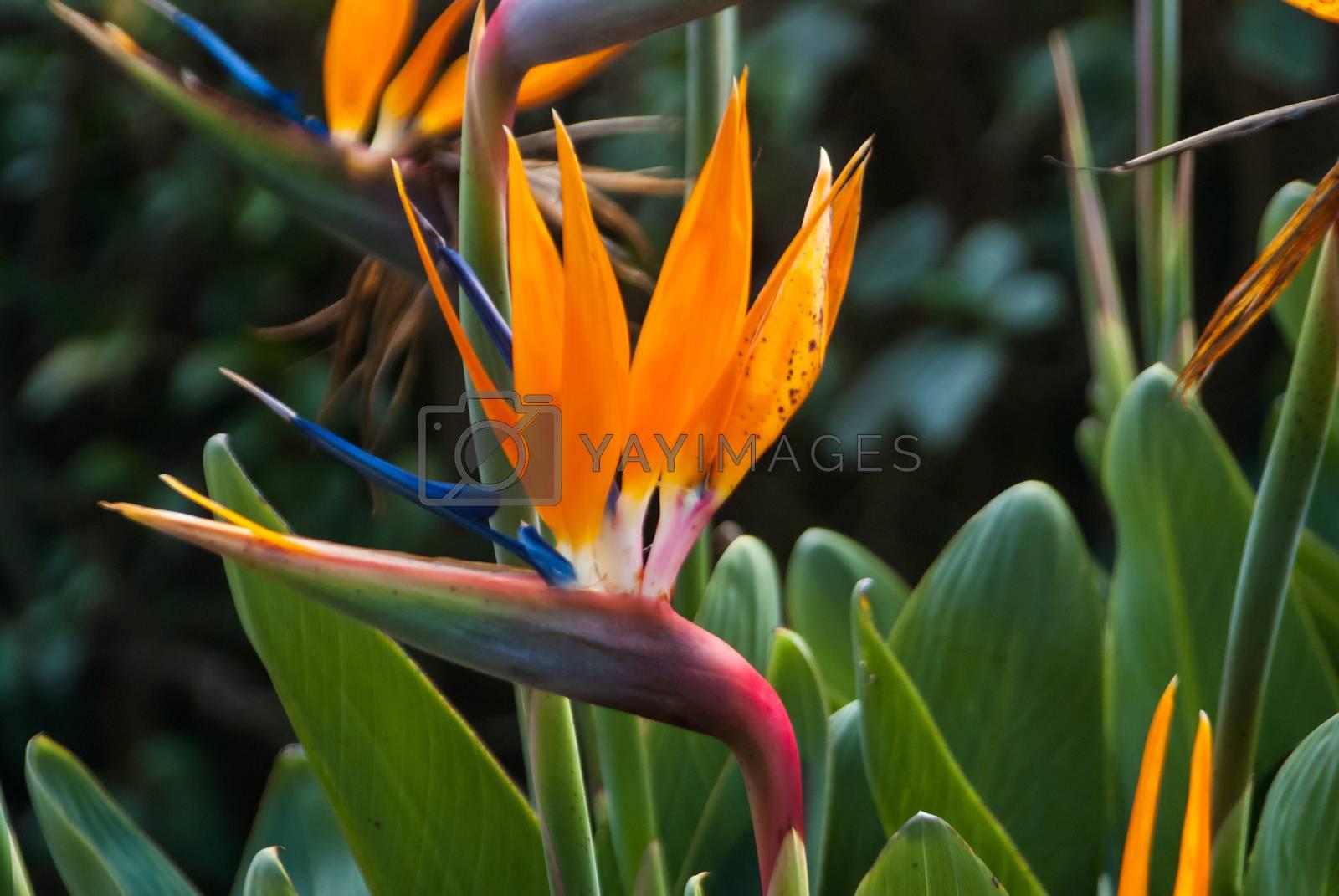 Bird of Paradise Flower by emattil
