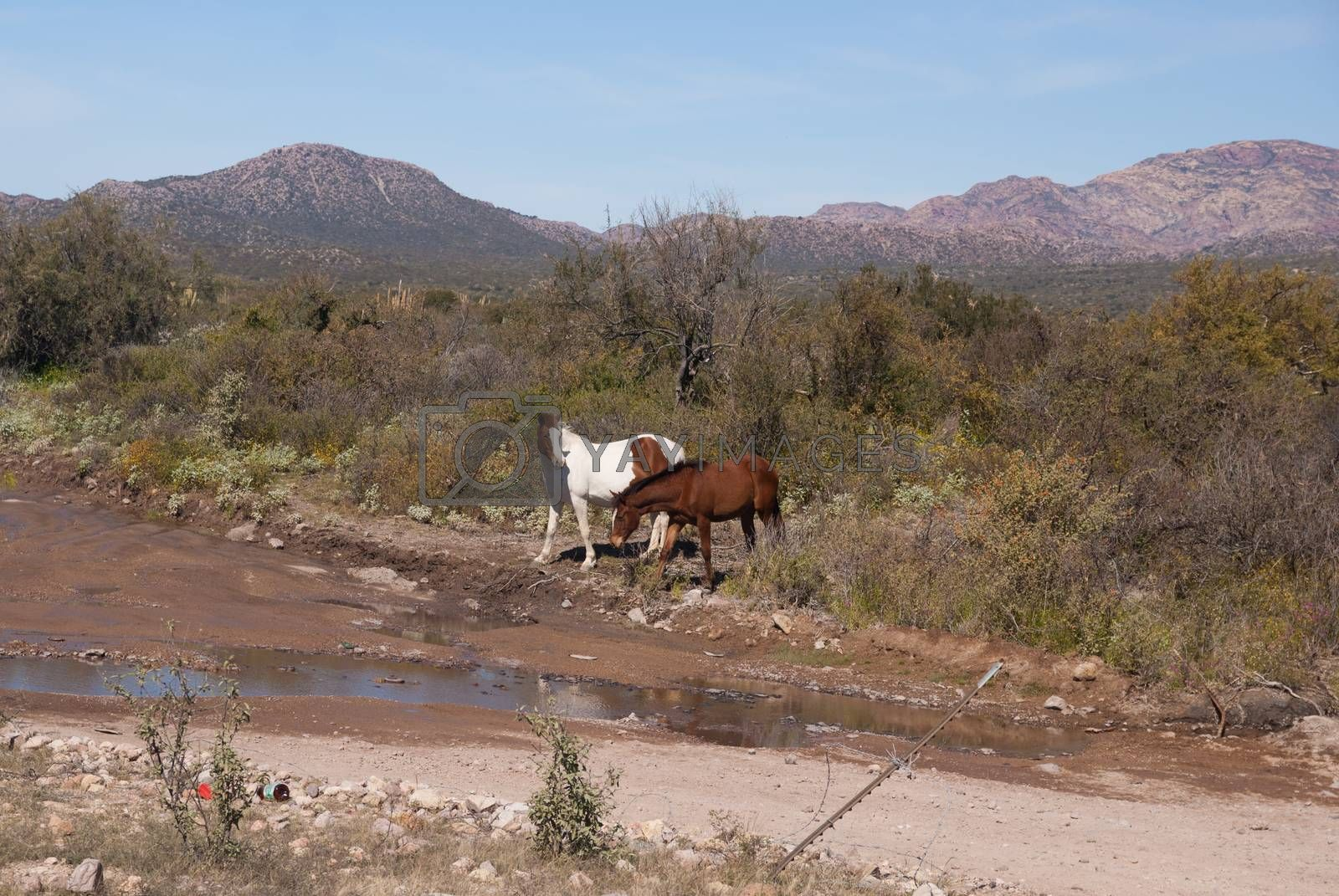 Two wild horses in Sonora Desert by emattil