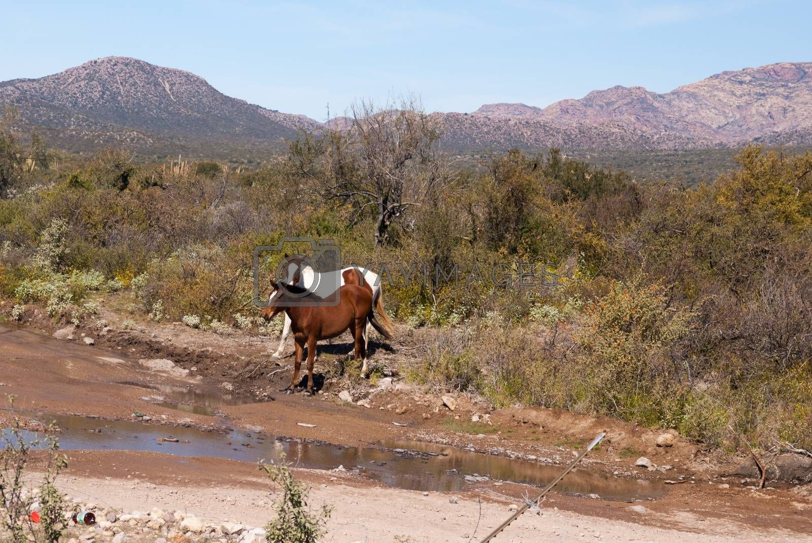 Two Desert horses by emattil