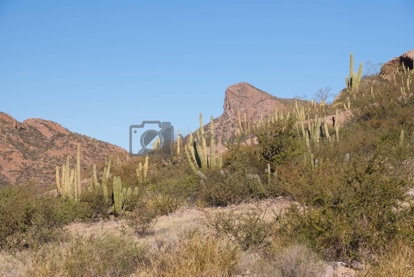 Mexican Organpipe cactus by emattil