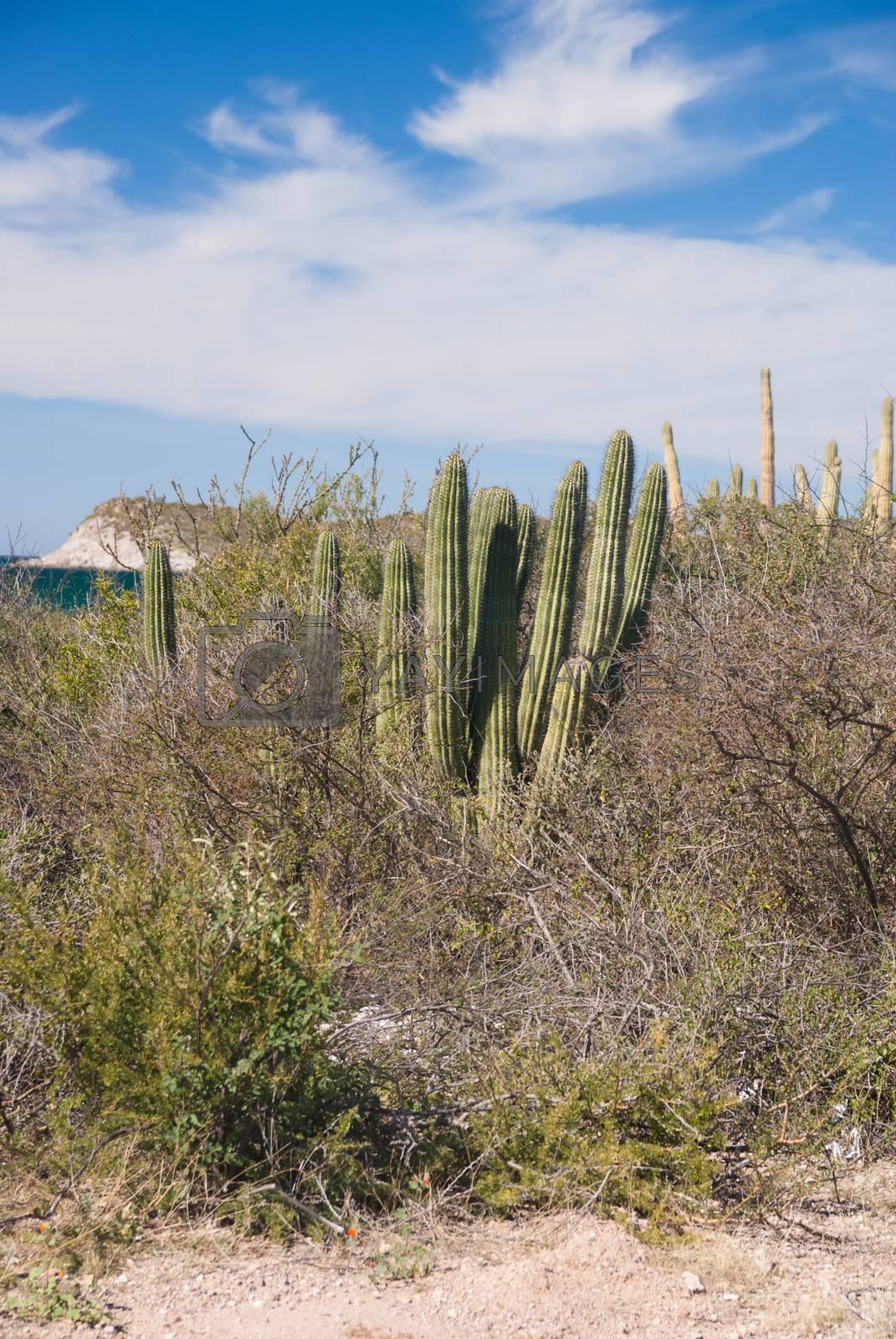 Organpipe Cactus in coastal Sonora desert Mexico by emattil