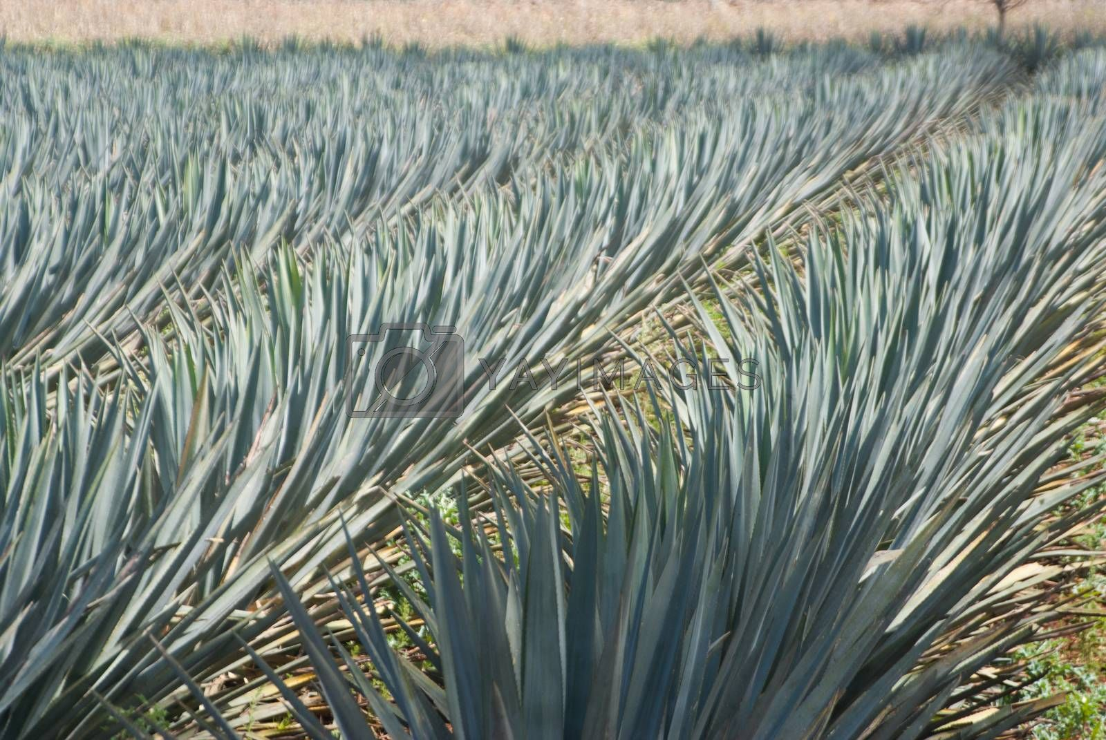 Agave blowing in the wind by emattil