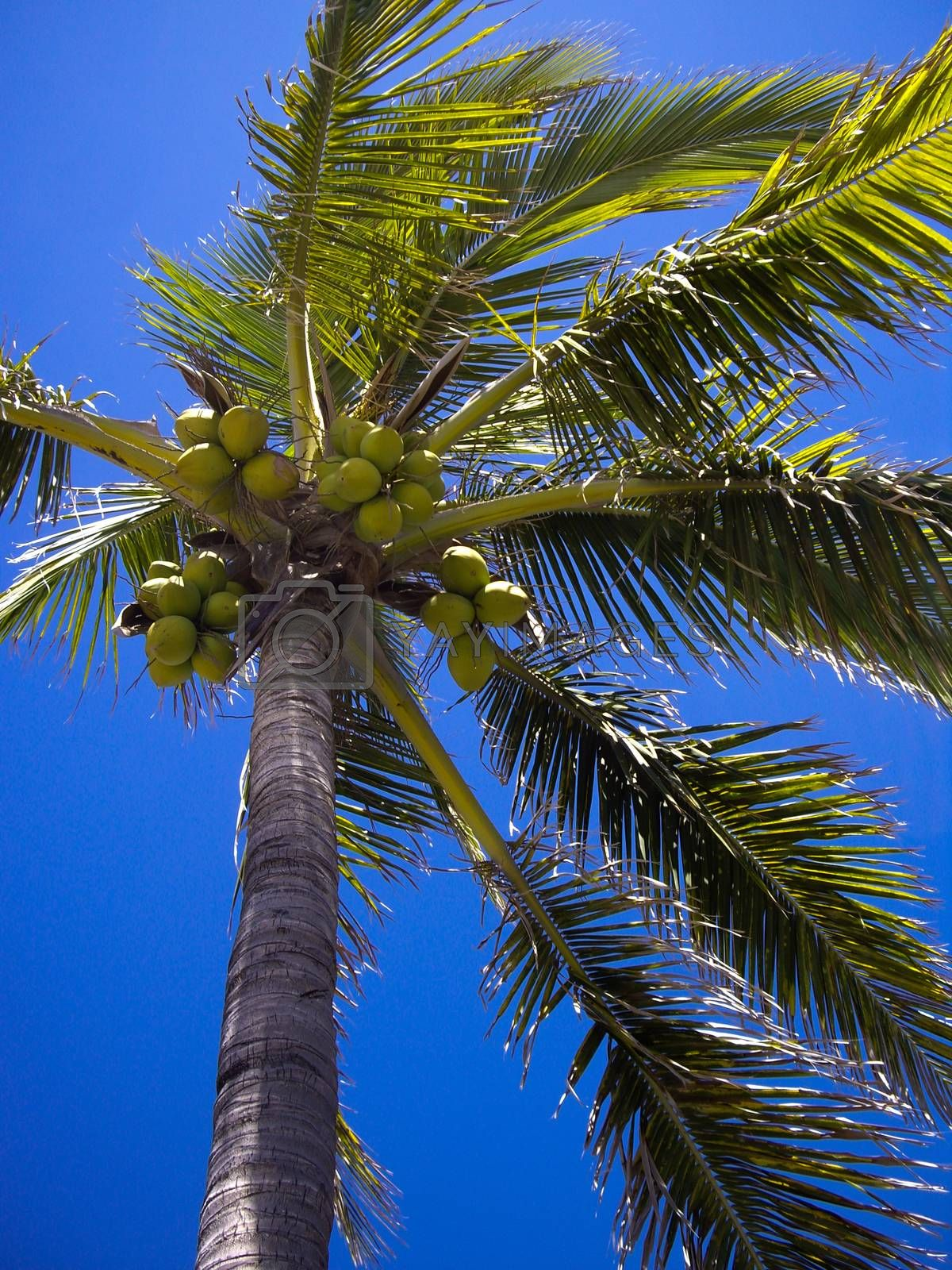 Tropical Coconuts by emattil