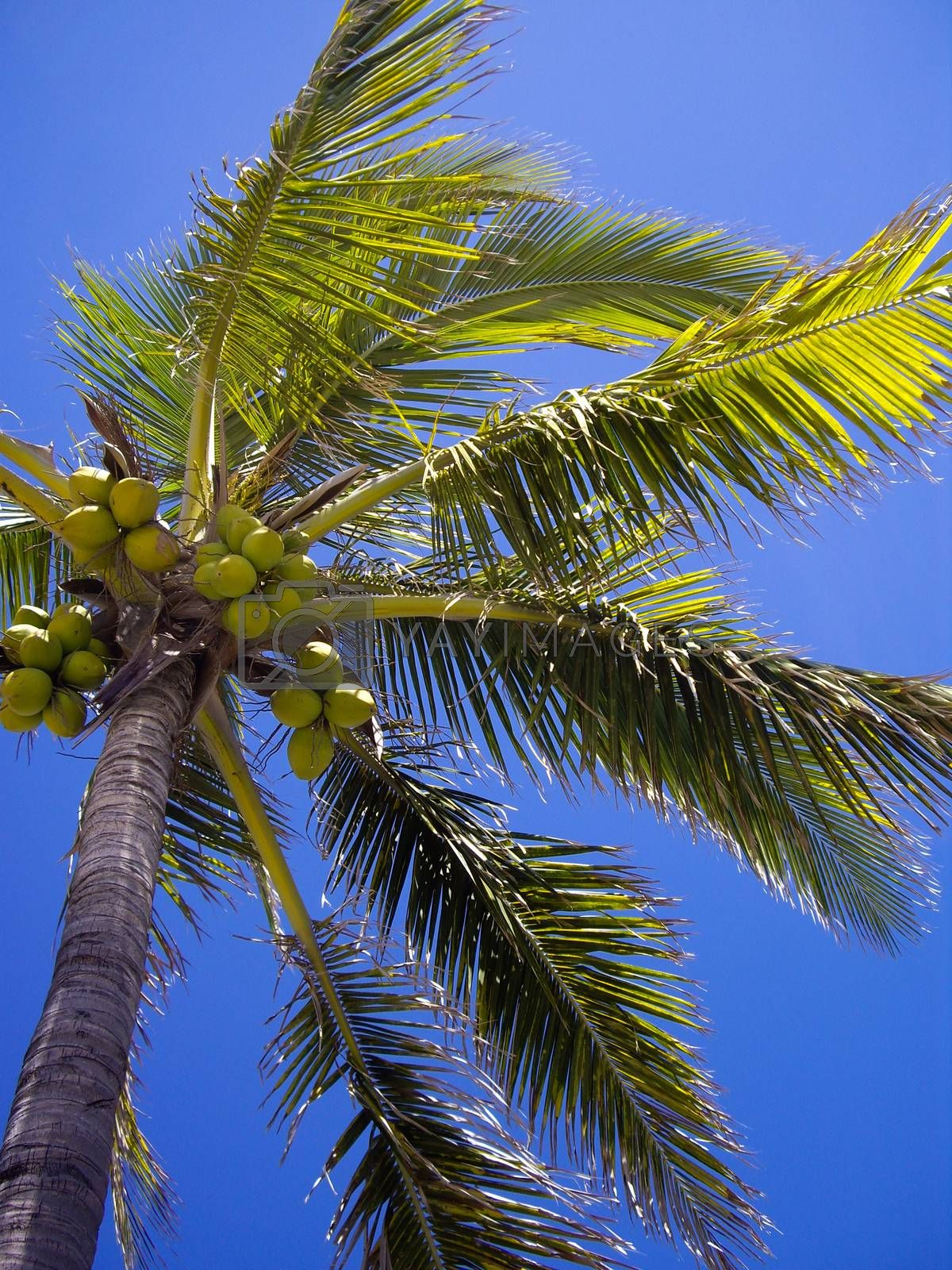 Coconut Tree by emattil