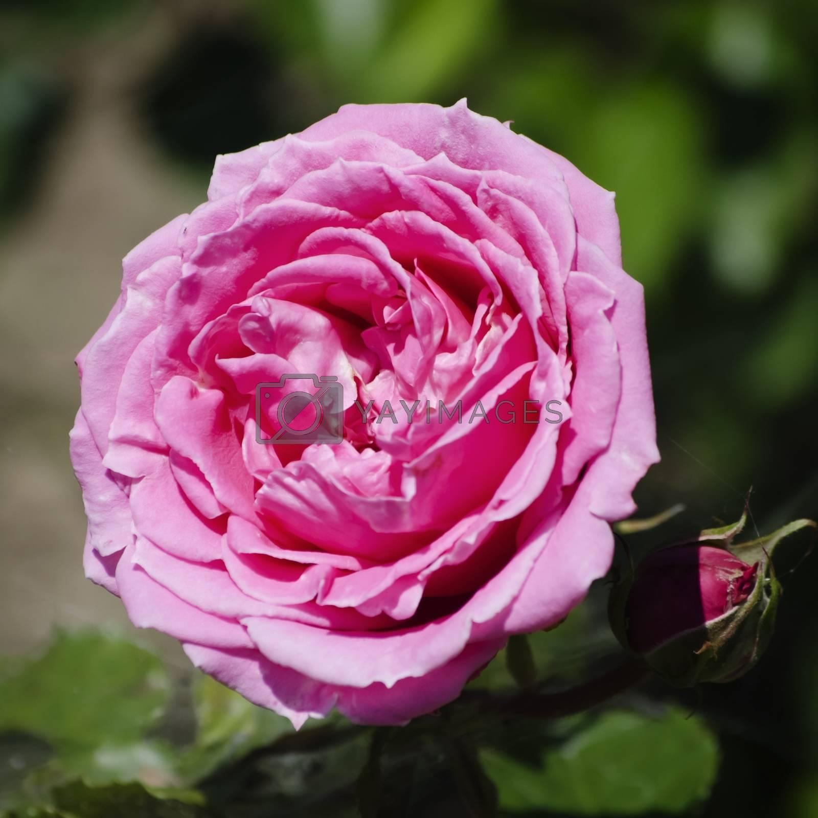 Rose Flower by razvodovska