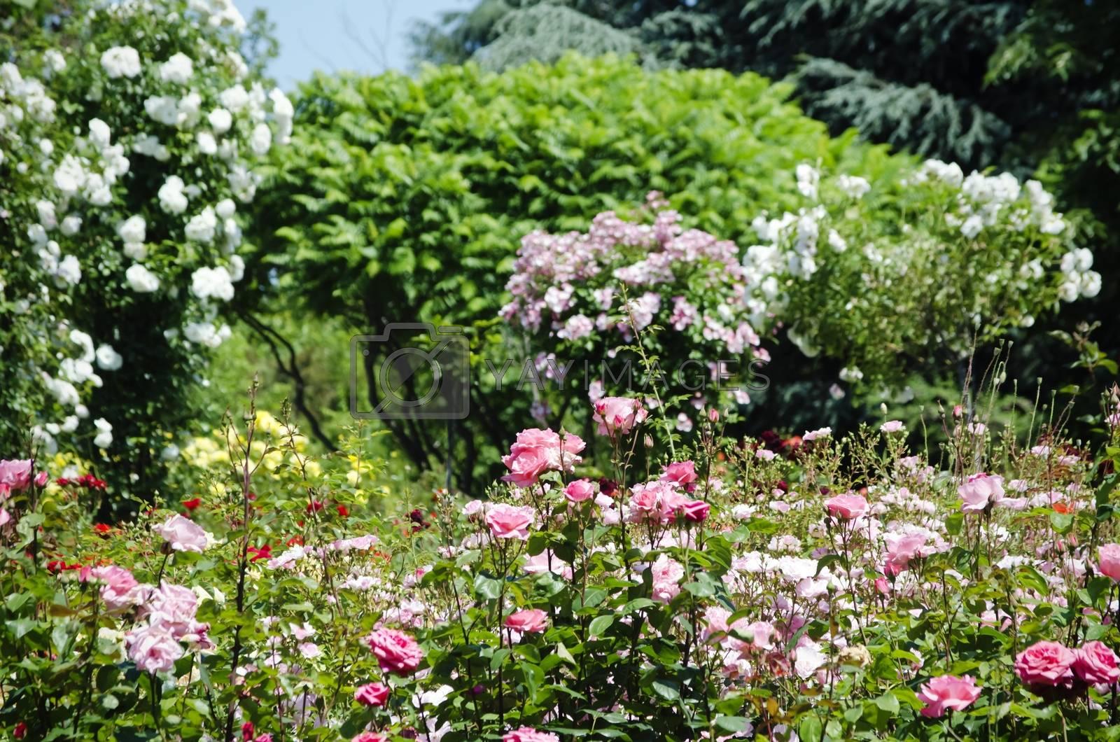 Rose Flower Gardening by razvodovska