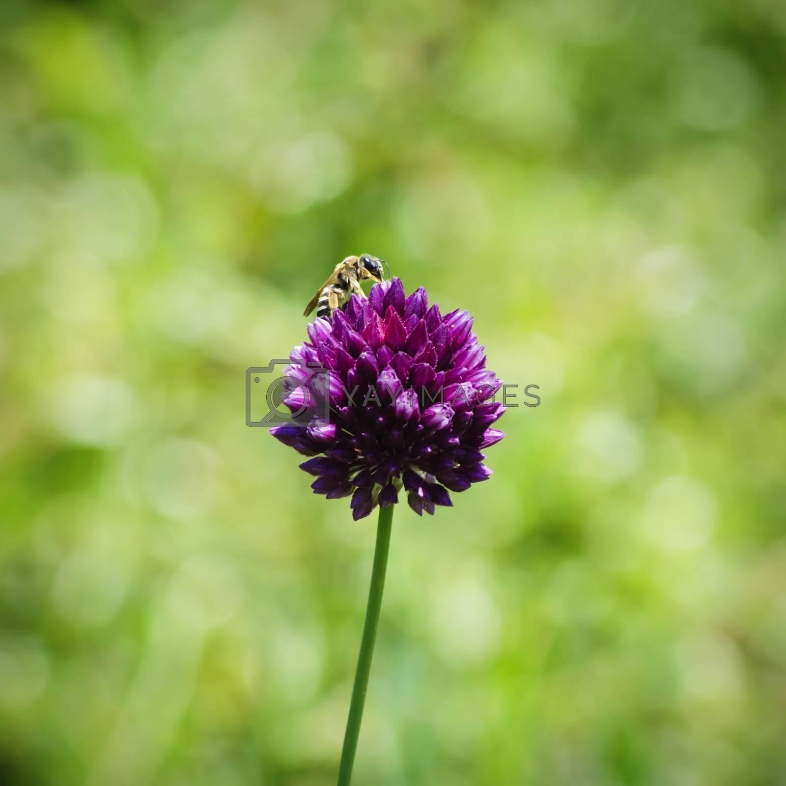 Clover Flower and Bee by razvodovska