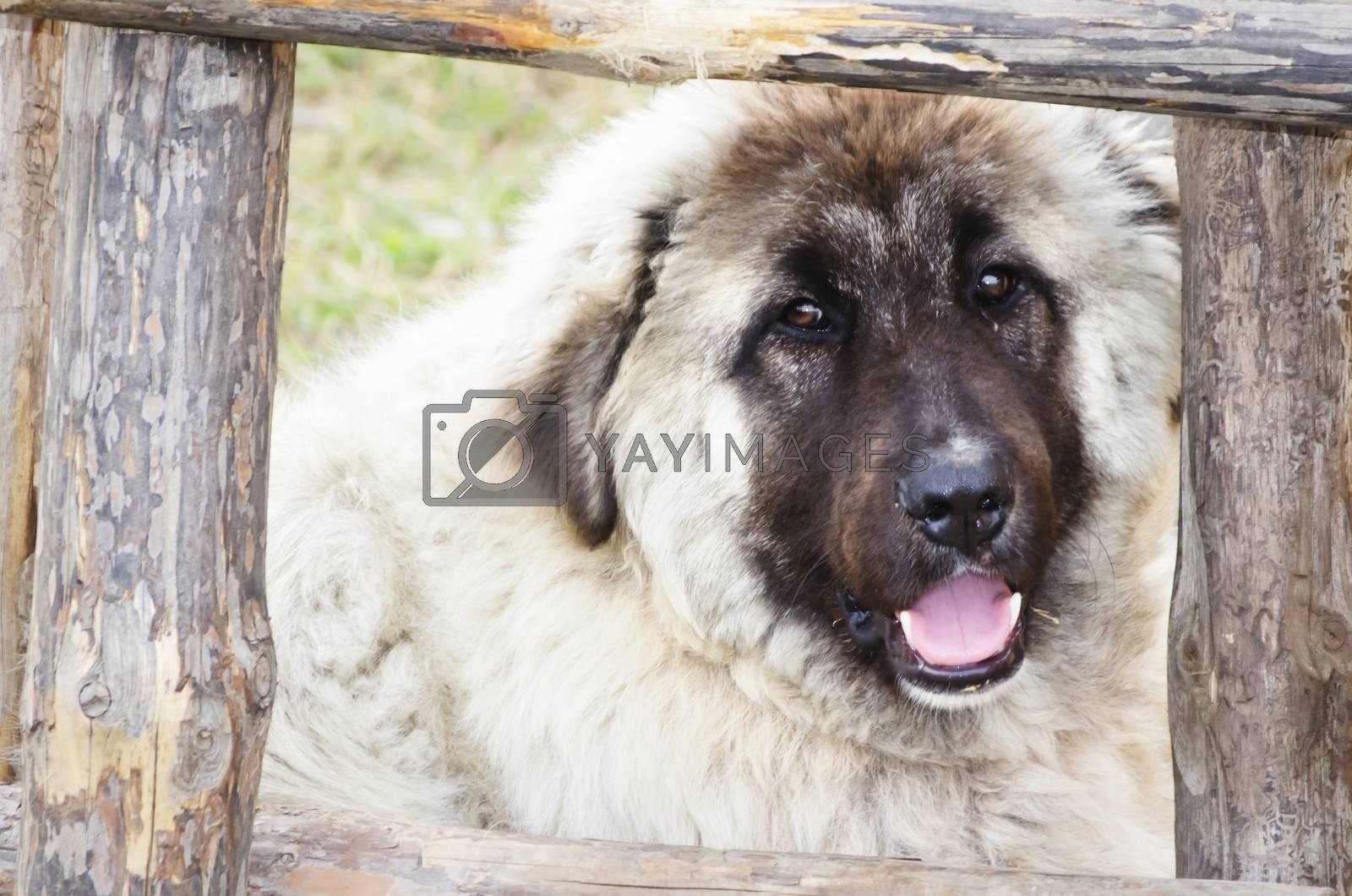 Big Dog  by razvodovska