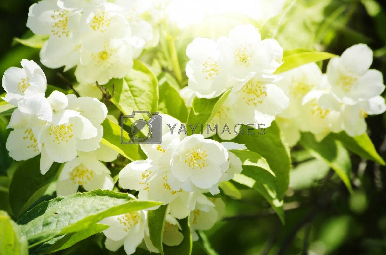 Jasmine Flower by razvodovska