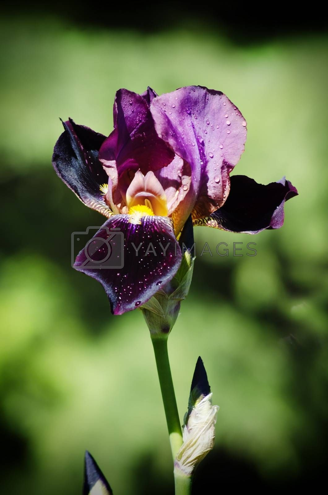 Iris Flower by razvodovska
