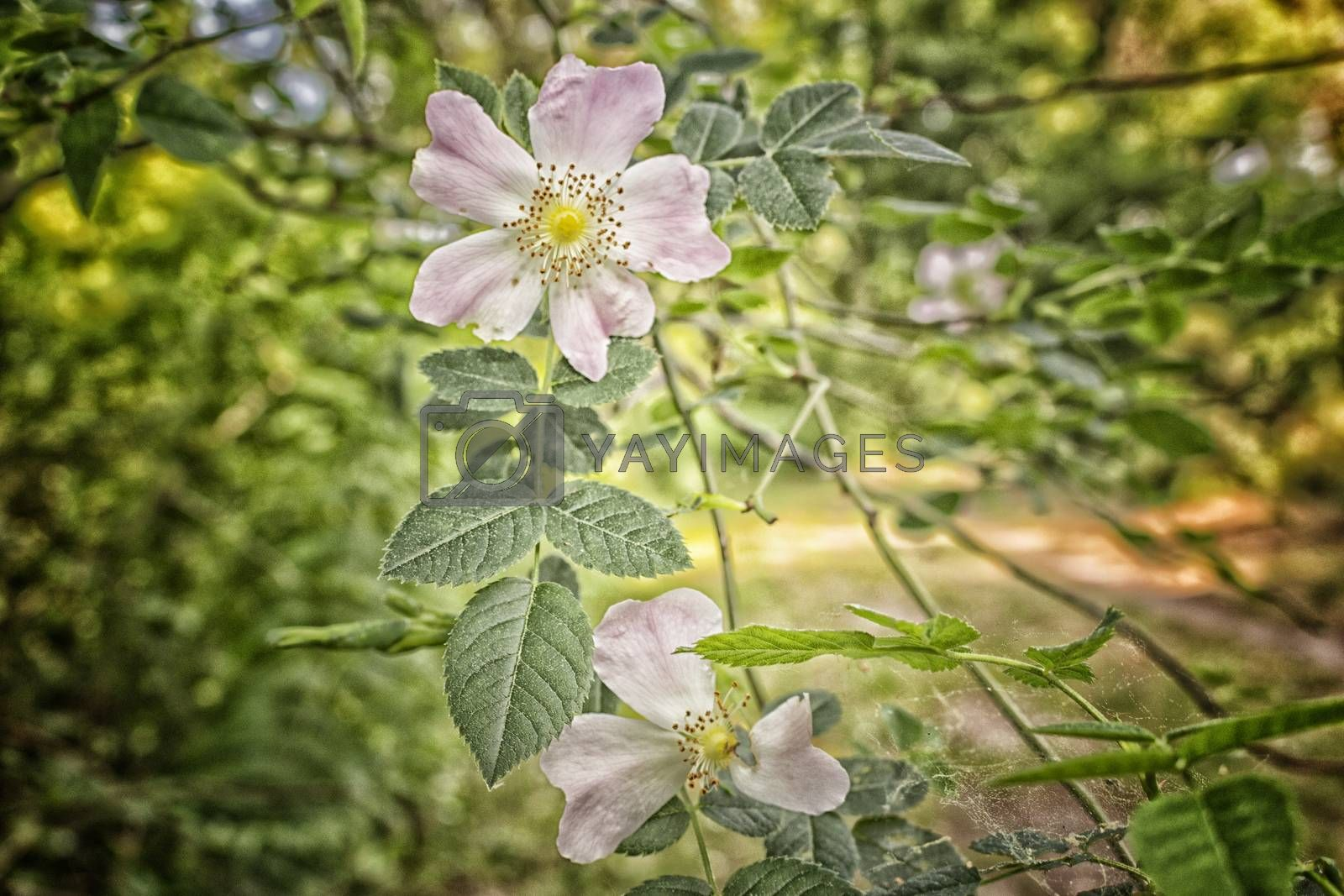Rosa Canina in pinewood forest near Marina Romea by paocasa