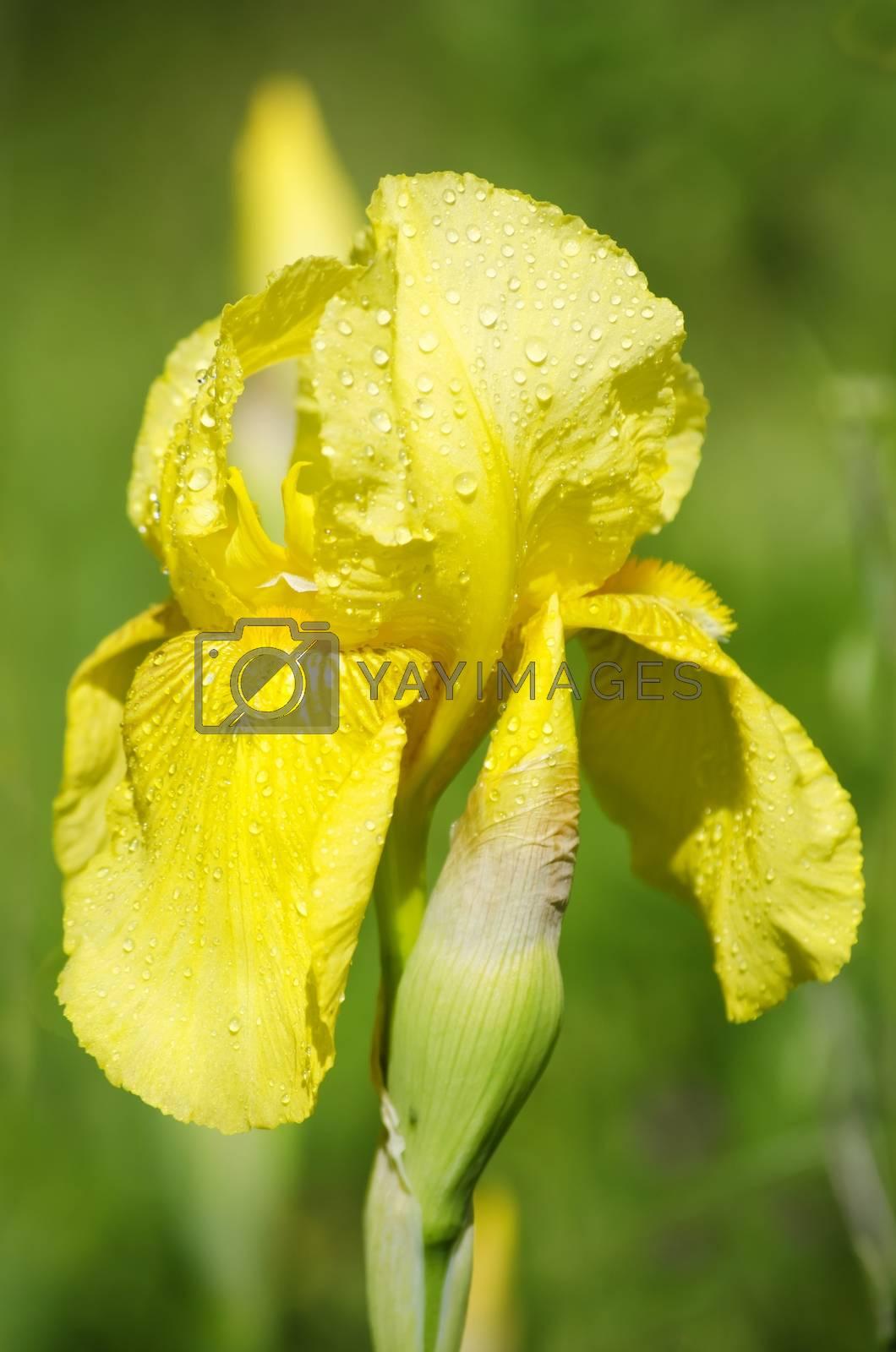Iris Flower by razvodovska