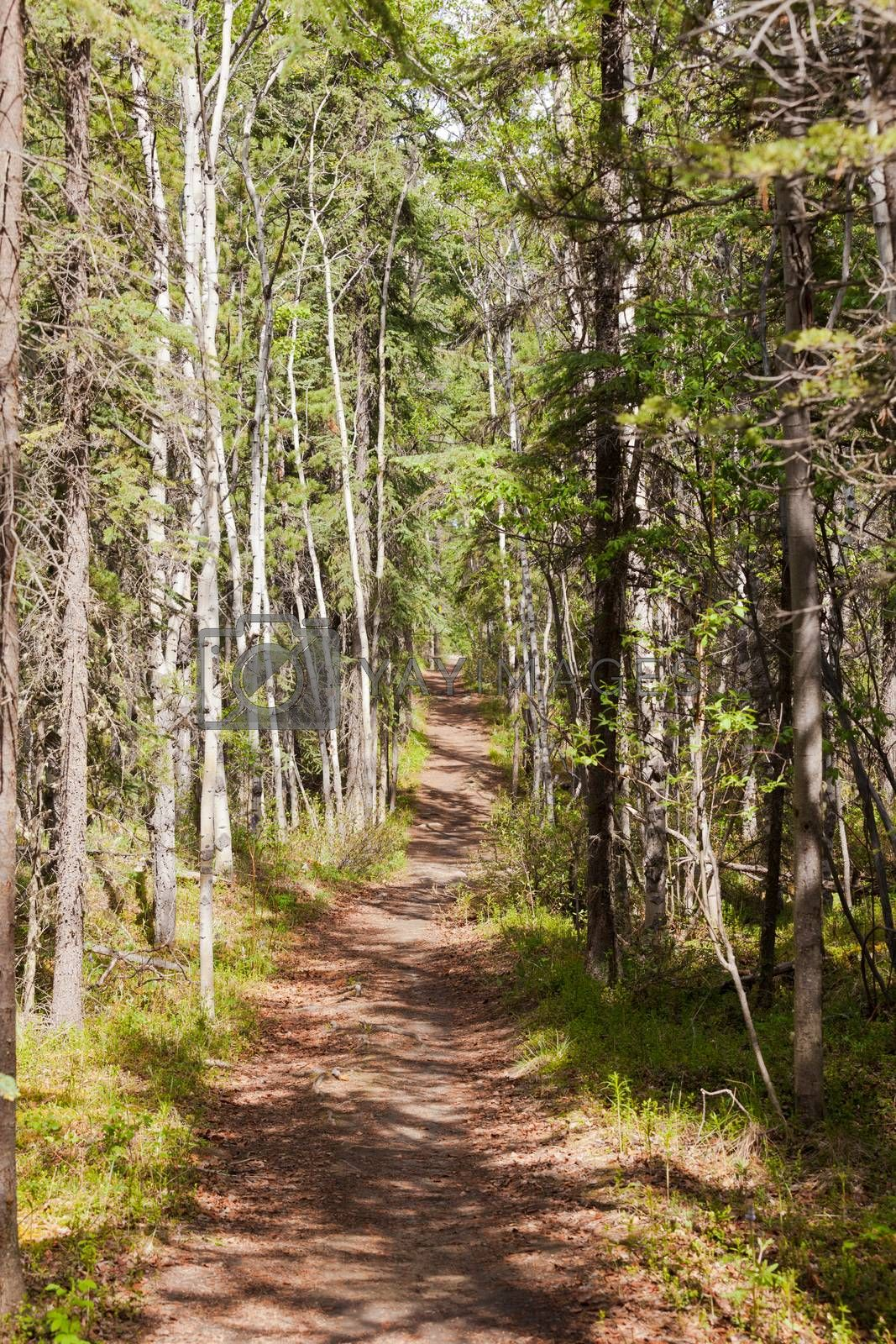Taiga boreal forest summer trail aspen trees by PiLens