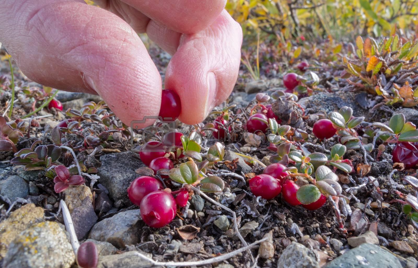 Cranberry Vaccinium vitis-idaea pick alpine tundra by PiLens