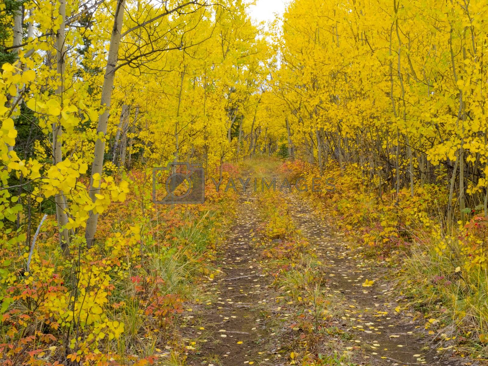 Wilderness trail golden fall aspen boreal forest by PiLens
