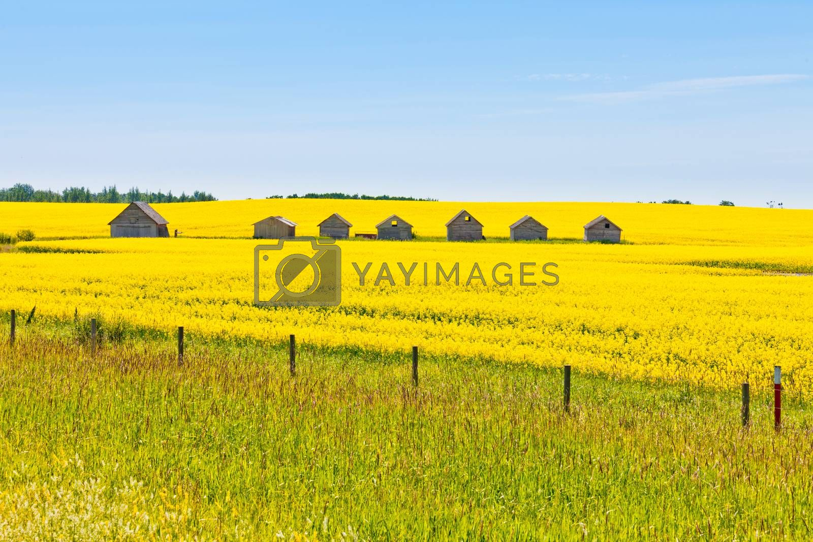 Farm huts canola field agriculture landscape by PiLens