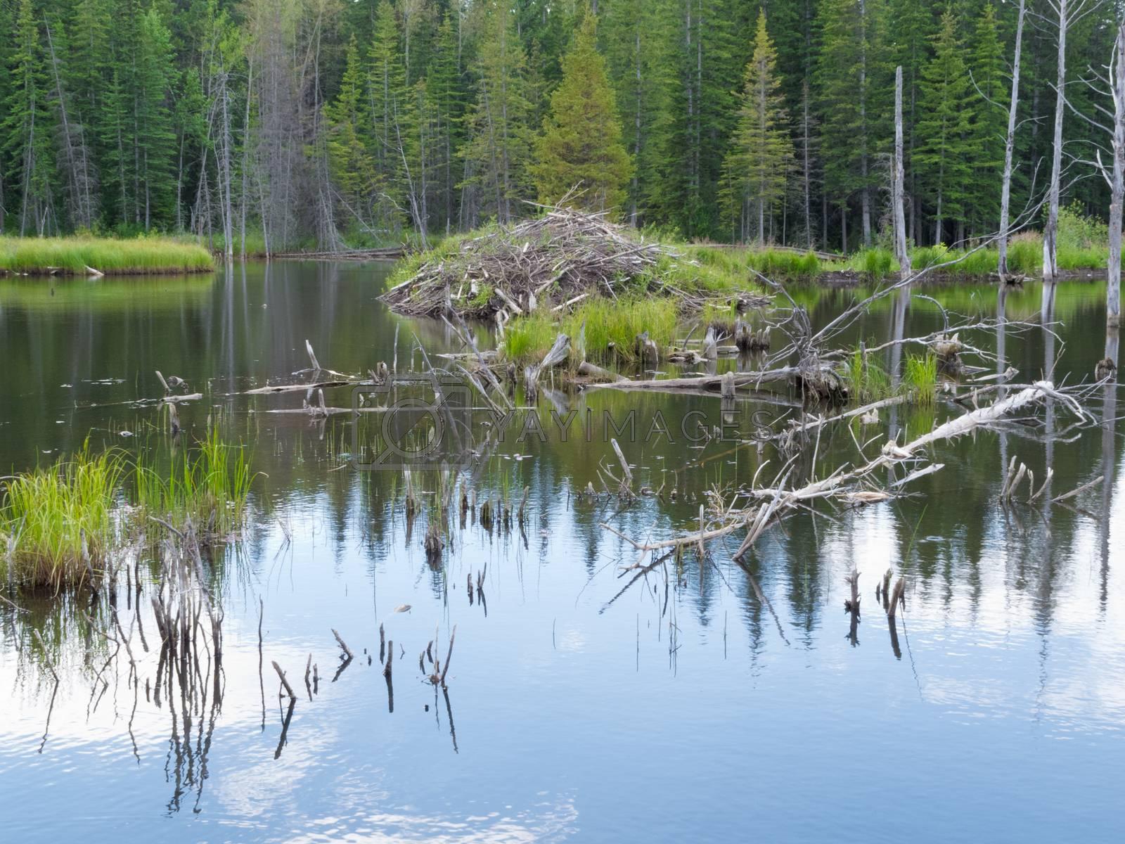Taiga wetlands beaver lodge Castor canadensis by PiLens
