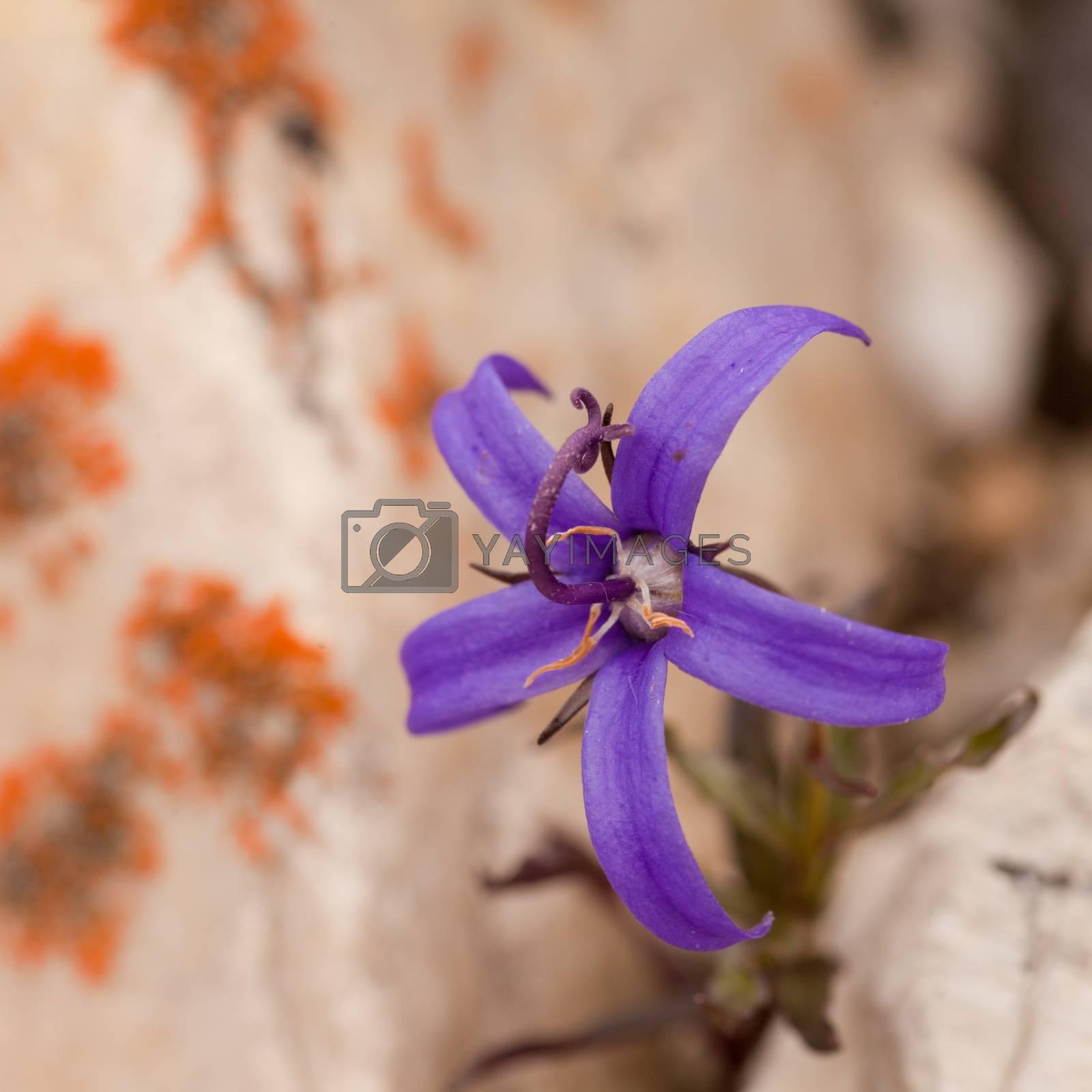 Alpine plant Inky Gentain Gentiana glauca flower by PiLens