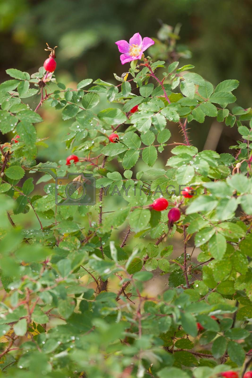 Prickly Wild Rose Rosa acicularis blossom rosehips by PiLens
