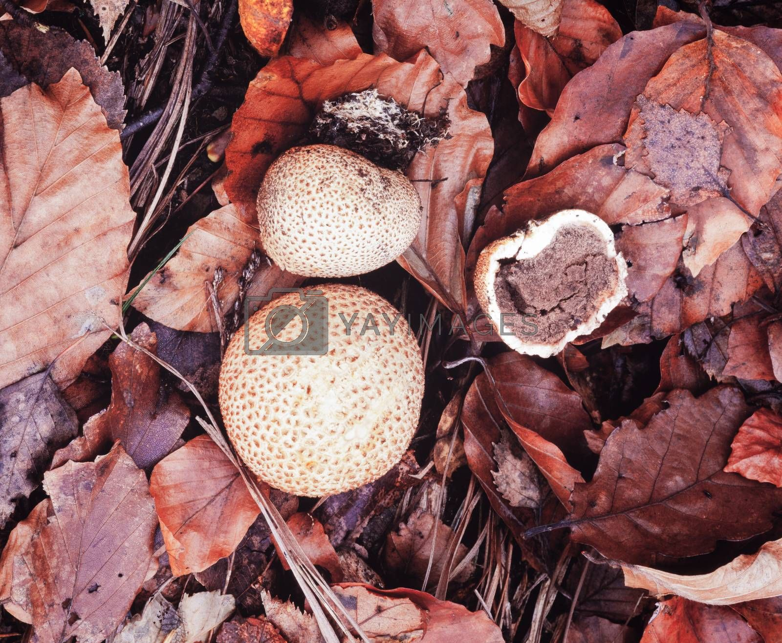 Common Earthball or Pigskin Poison Puffball, Scleroderma citrium, between brown autumn fall leaves