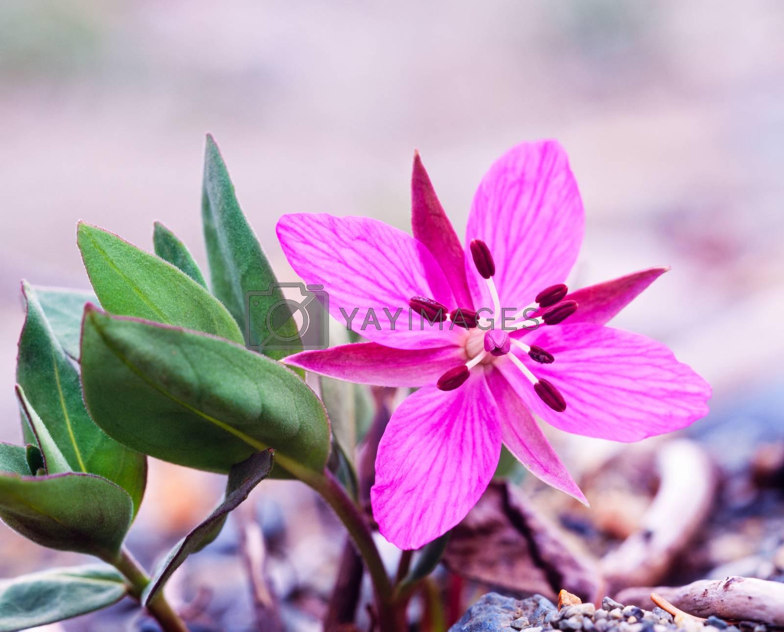 Dwarf Fireweed Chamerion latifolium flower by PiLens