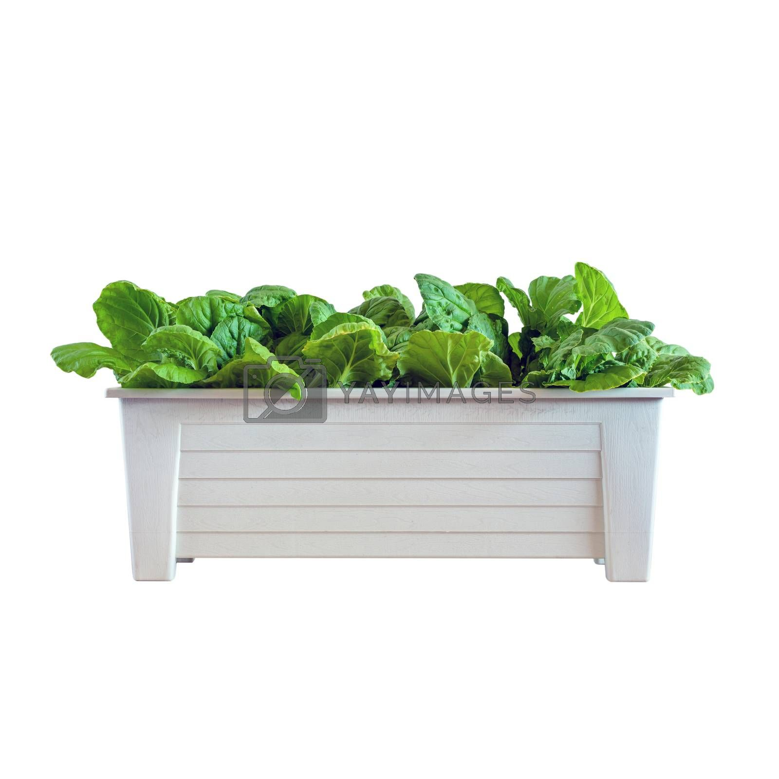Hydroponic vegetables growing in pot  by siraanamwong